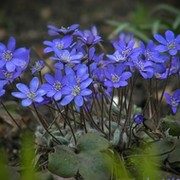 Печеночница Hepatica - flower.onego.ru